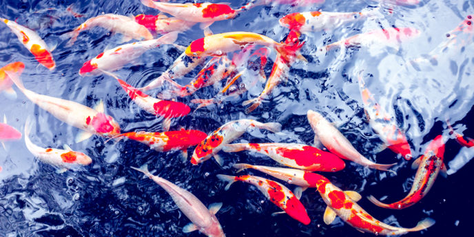 Koi Carp Fishes