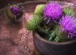 Milk Thistle Flowers for Liver Detox