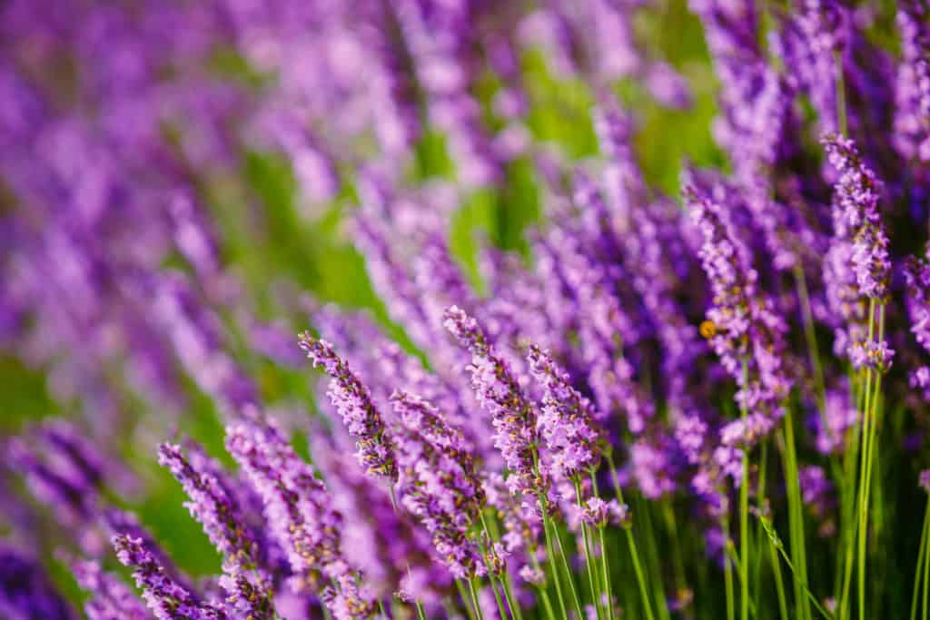 Beautiful Blooming Lavender Flowers. Summer season in Provence, France. Close up. Background.