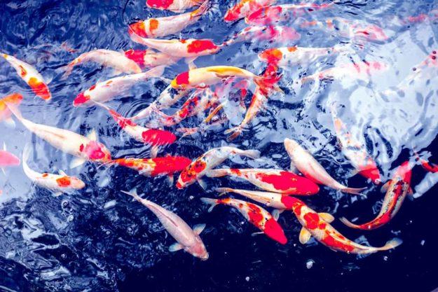 Koi Carp Fishes