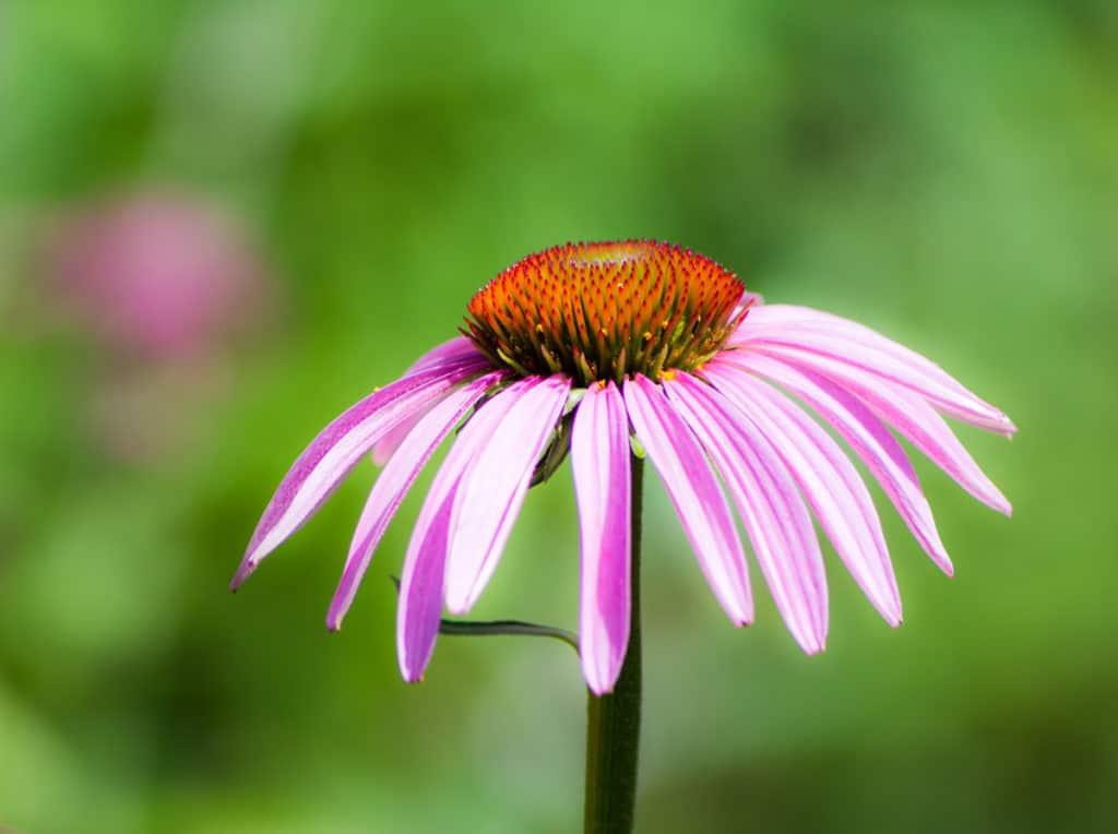 Blossom of a pink Echinacea purpurea flower